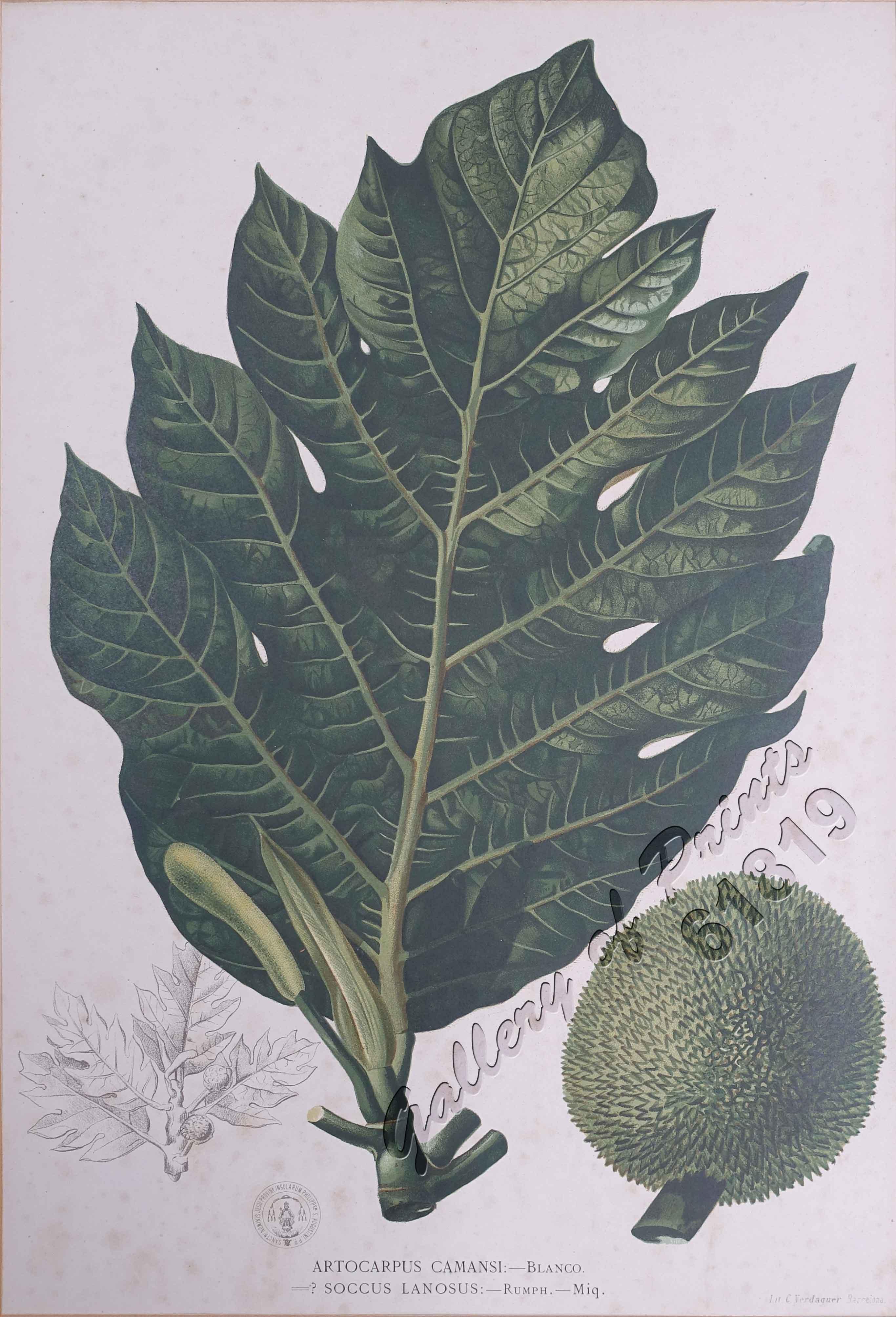 Artocarpus Camansi: - Blanco  Soccus Lanosus: - Rumph  - Miq  [Local Name:  Breadnut / Jackfruit]